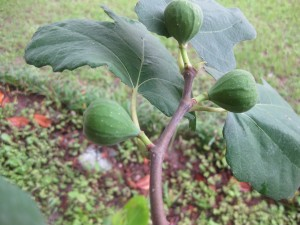 Baby Fig Tree!